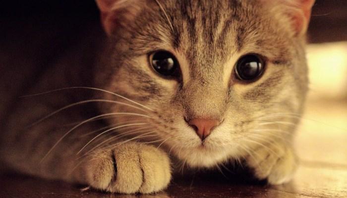 Los gatos tienen una buena vista