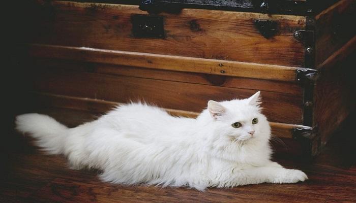 Beneficios de los gatos blancos.
