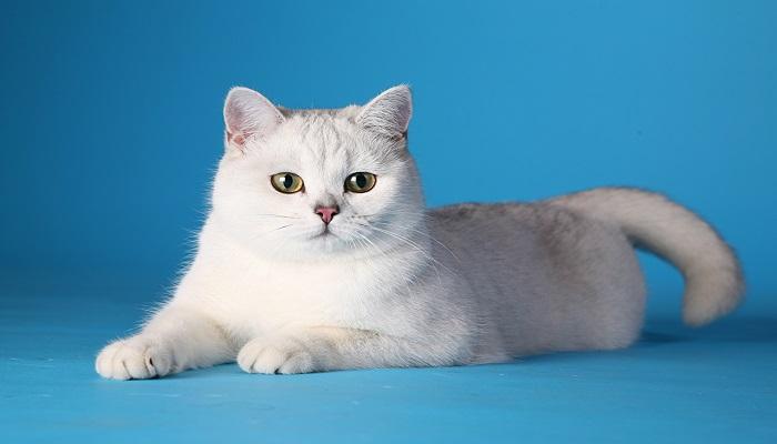 Los gatos blancos.