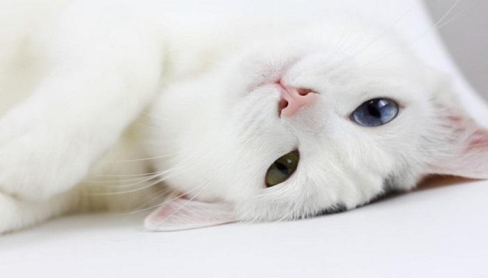 Gato blanco con heterocromia.