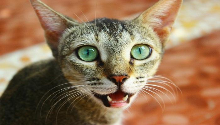 el gato y la pérdida de dientes
