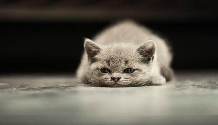 gato cansado.